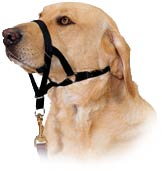 Dog wearing a Halit head collar