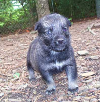 Shepherd Mix Pups - AVAILABLE