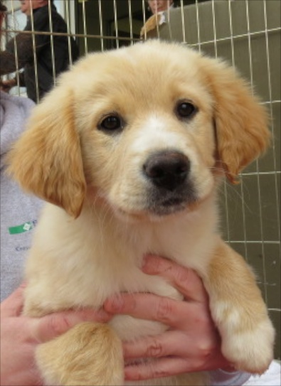 Golden Retriever Aussi mix pup