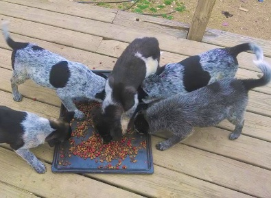 Litter of Blue Heeler /Queensland mix pups