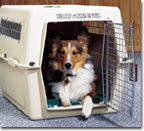 Sheltie in a crate