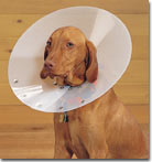 Vizsla wearing an Elizabethan collar