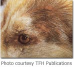 skin lesions above the eye of a dog with food allergies